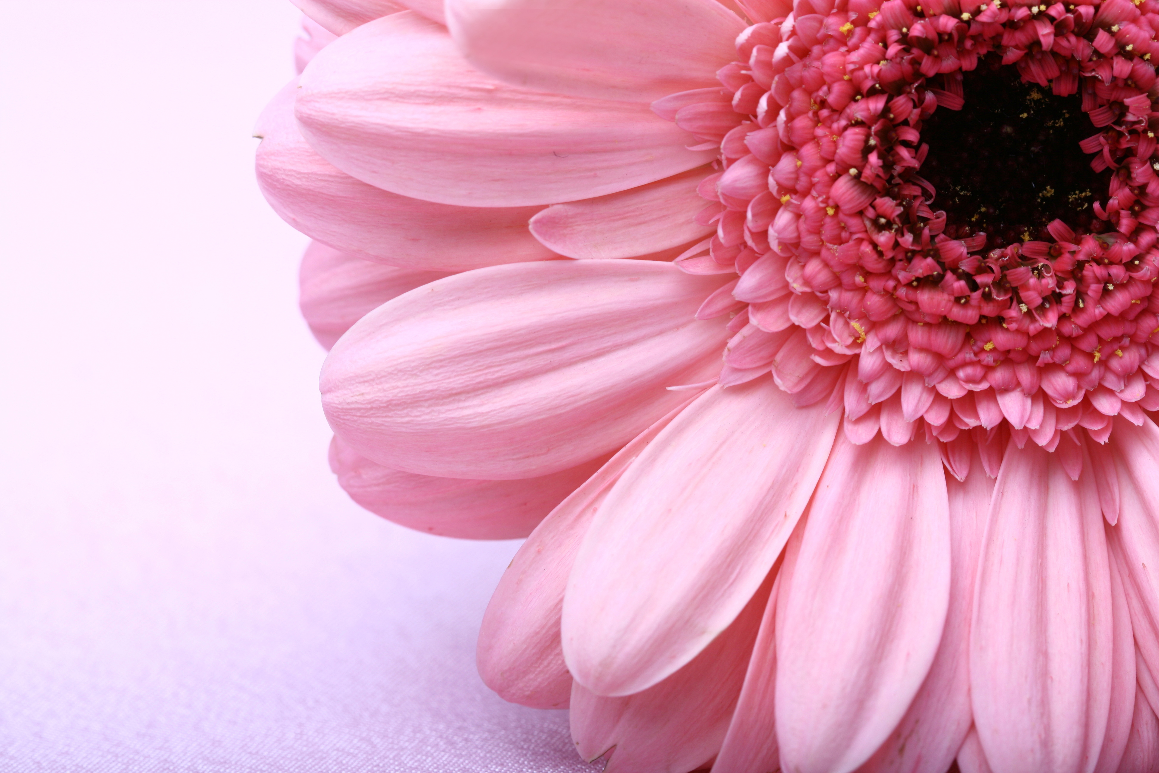 shutterstock_9190615_gerbera-rose